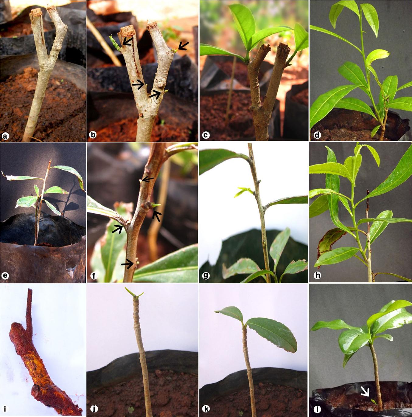 A Simple And Effective Method For Vegetative Propagation Of An Endangered Medicinal Plant Salacia Oblonga Wall Semantic Scholar