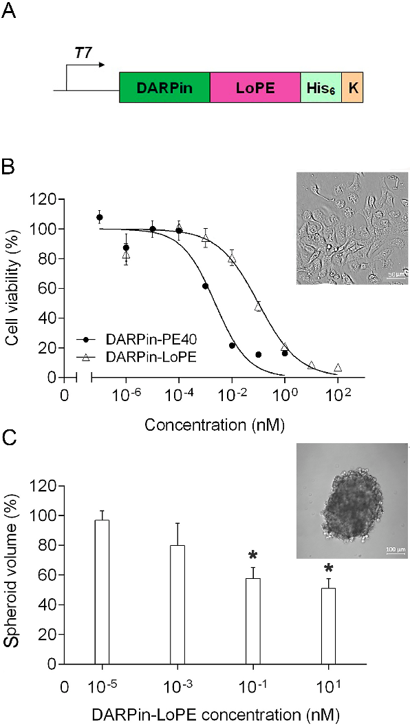 Pdf Her2 Specific Targeted Toxin Darpin Lope Immunogenicity And Antitumor Effect On Intraperitoneal Ovarian Cancer Xenograft Model Semantic Scholar