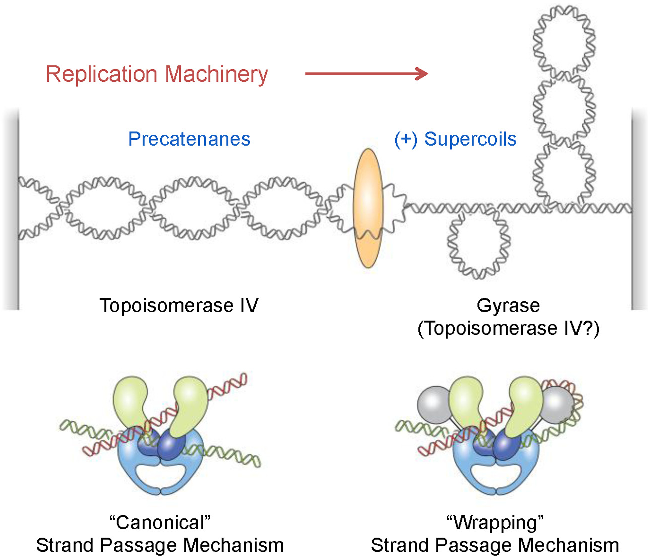 Figure 1 From Activities Of Gyrase And Topoisomerase Iv On Positively Supercoiled Dna Semantic Scholar Learn about dna gyrase with free interactive flashcards. positively supercoiled dna
