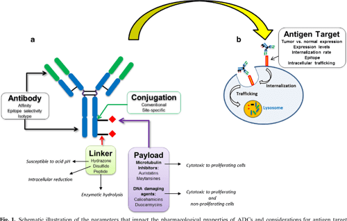 Antibody-Drug Conjugate (ADC) and Cancer Therapy