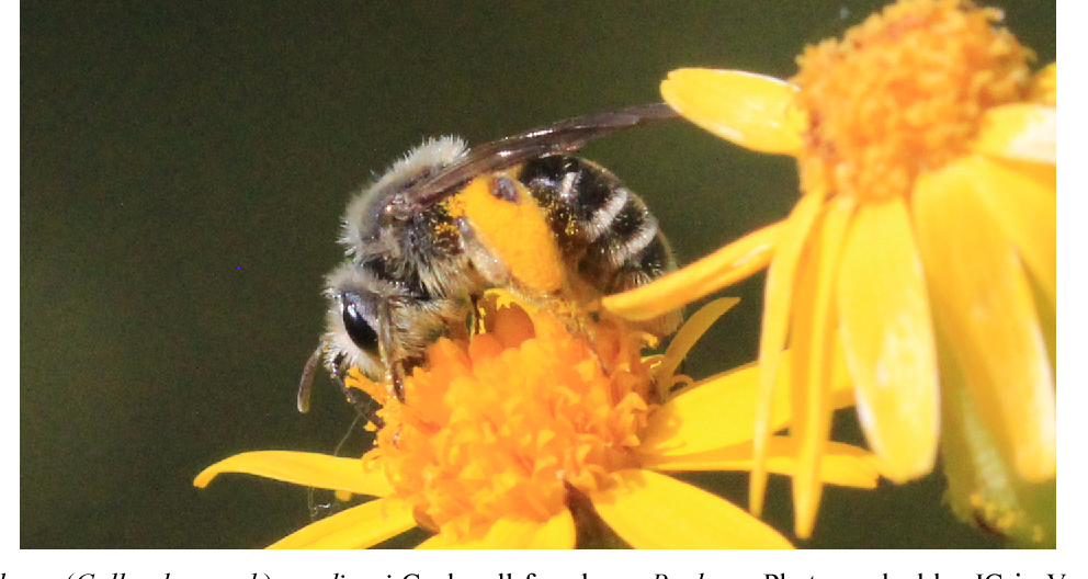 Figure 13 from The bees of Michigan (Hymenoptera: Apoidea