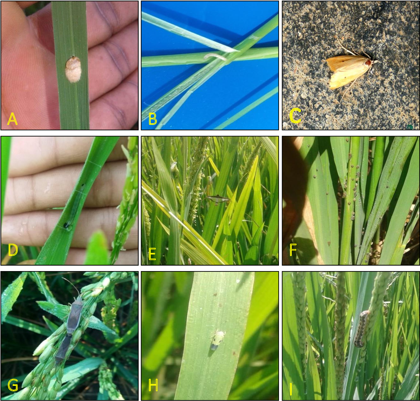 Figure 2 From Studies On Major Insect Pests Of Rice Crop Oryza Sativa At Balaghat District Of Madhya Pradesh Semantic Scholar