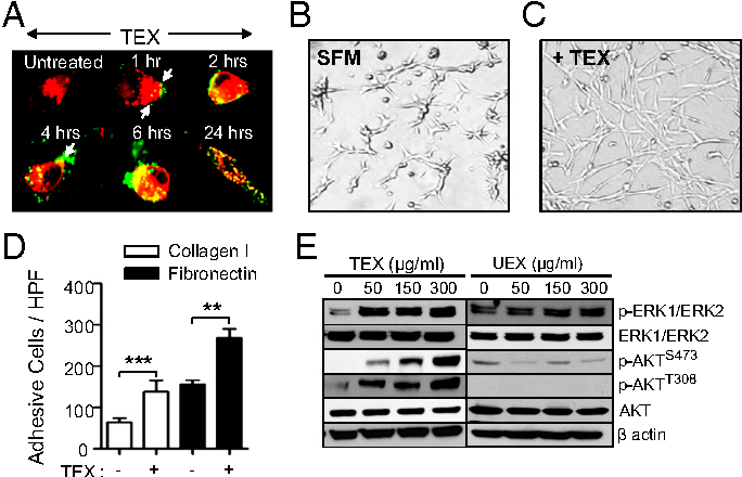Fig. 2. Uptake of TEXs by smooth muscle cells is sufficient to activate specific phosphokinase signaling pathways downstream of KIT. (A) Confocal microscopy analysis of PKH67-labeled (green) TEX uptake by PKH26-labeled ULTR cells. Arrows indicate exosomes bound to the cellular surface. (B and C) ULTR cells display a highly organized network of star-like cells upon TEX treatment (+TEX) (C) compared with untreated ULTR cells cultured in SFMs (B). (D) TEX enhances the adhesive abilities of ULTR cells to FN-1 (20 μg/mL) and type I collagen (10 μg/mL). Adhesion was conducted for 30 min, and results are shown as means ± SEM (n = 3). **P = 0.0078; ***P = 0.0001 (t test). (E) Immunoblotting analysis of pERK1/2Thr202/Tyr204, pAKTS473, and pAKTT308 levels in ULTR cells treated with purified UEXs or TEXs. β actin was used as a loading control in all cases.