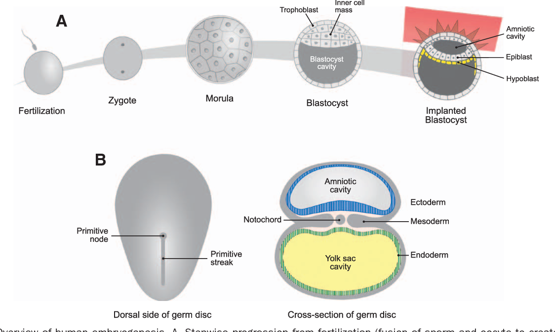 Figure 1 from Cardiac Embryology and Molecular Mechanisms of
