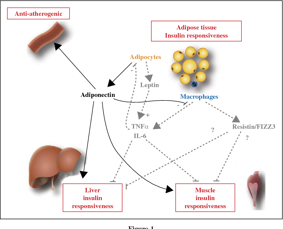 Pdf Recent Advances In The Relationship Between Obesity Inflammation And Insulin Resistance Semantic Scholar