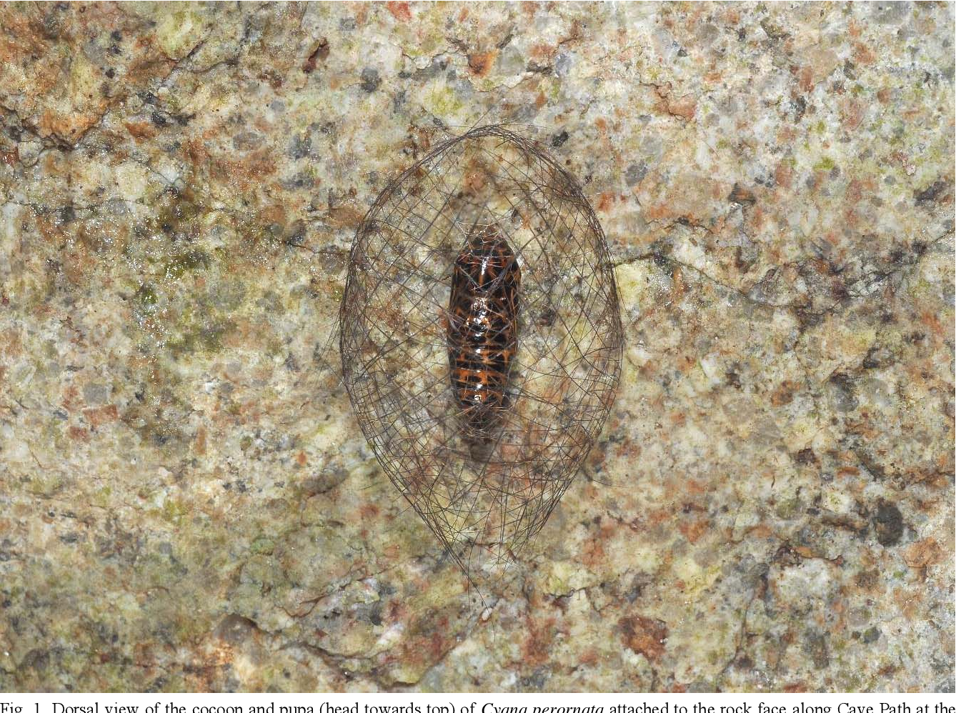 Fig. 1. Dorsal view of the cocoon and pupa (head towards top) of Cyana perornata attached to the rock face along Cave Path at the Bukit Timah Nature Reserve, encountered on the night of 9 Jul.2010 (ca. 2230 hours).