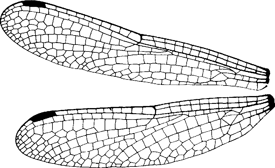 Figure 15 From A Reclassification Of The Order Odonata Based