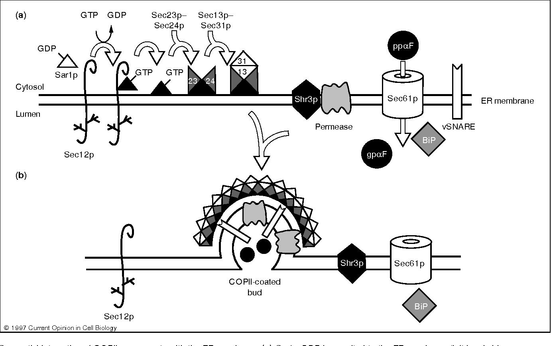 COPII and secretory cargo capture into transport vesicles