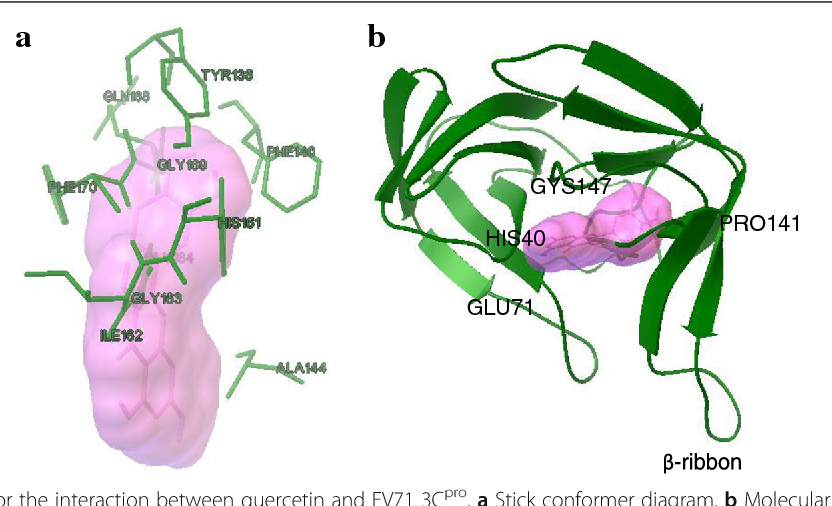 Fig. 6 Molecular docking for the interaction between quercetin and EV71 3Cpro. a Stick conformer diagram. b Molecular binding model for quercetin with viral 3Cpro. The structure of EV71 3Cpro (PDB no. 3OSY) was used as a template. The interaction between quercetin and viral 3Cpro was detected using AUTODOCK 4.2. The color of O atom of quercetin is red