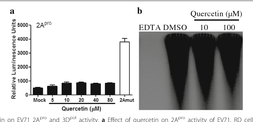 Fig. 4 Effects of quercetin on EV71 2Apro and 3Dpol activity. a Effect of quercetin on 2Apro activity of EV71. RD cells were transfected with pEGFP-C1-2A or pEGFP-C1-2Amut (C110S) and reporter plasmid pCMV-FLuc, and then quercetin was added or not. After 24 h, the firefly luciferase activities were analysed. The data of three independent experiments are presented as the mean ± the standard deviation. b Effect of quercetin on EV71 3D RdRp primer extension assay. RNA polymerase assays contained poly (rA) 300, EV71 3Dpol, UTP, and [α-32P] UTP with or without quercetin (10 and 100 μM), the radioactivity was measured. The experiments were performed three times and the representative result was shown
