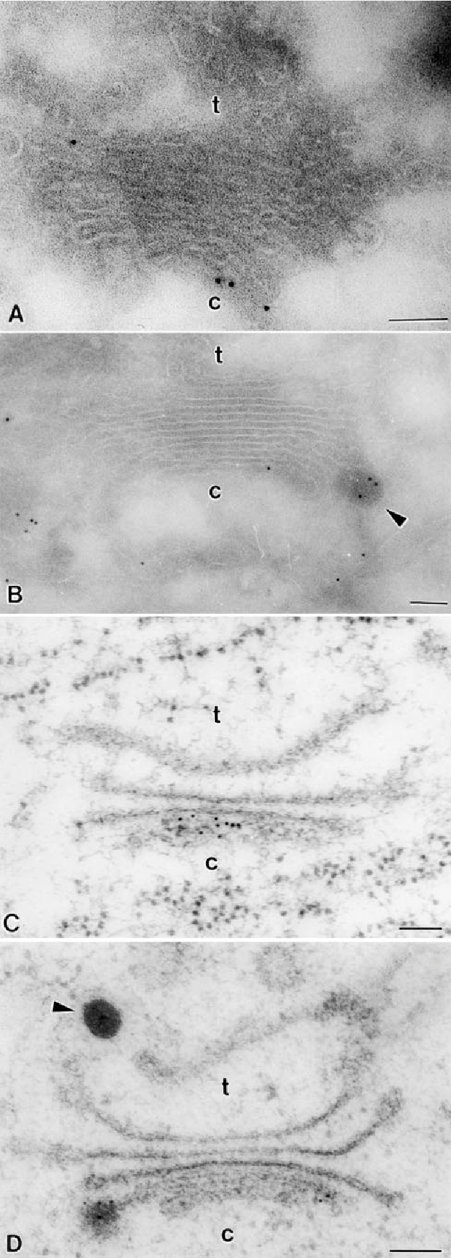 Figure 3. Immunogold staining of pea cotyledon Golgi stacks with antibodies against legumin. (A and B) Cryosection samples. Background labeling is very low. DVs are significantly labeled; the label is restricted to the cis-cisternae of the Golgi stack. (C and D) HPF