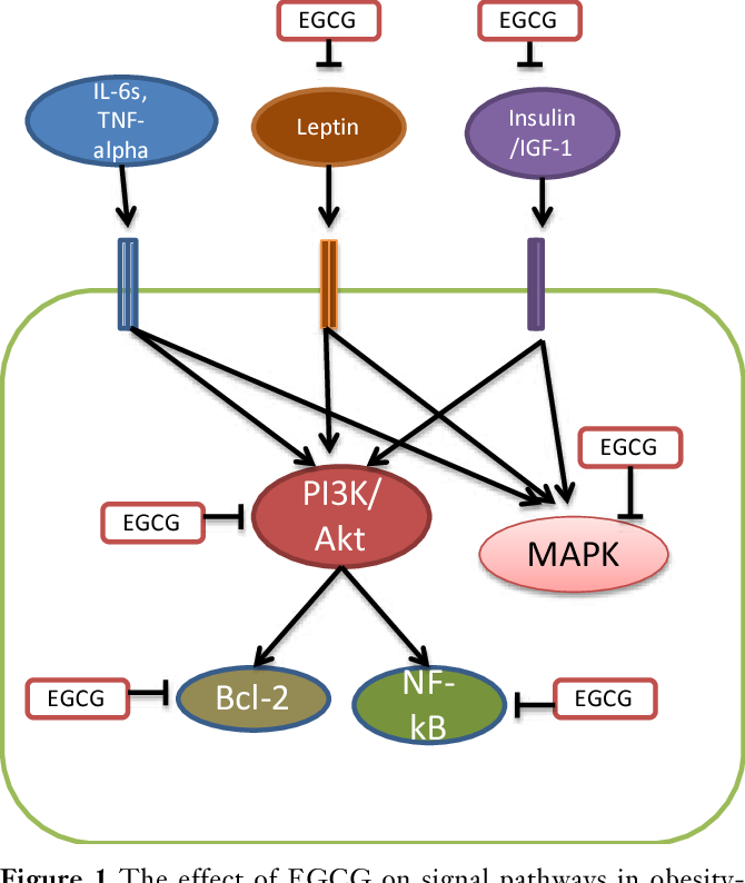 Prevention Of Obesity Associated Colon Cancer By Epigallocatechin 3 Gallate And Curcumin Semantic Scholar