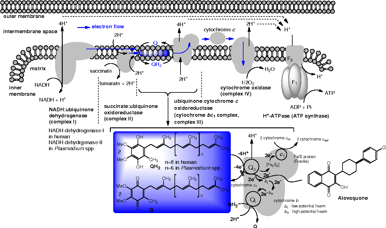 Figure 5 from Vitamin K2 in Electron Transport System: Are