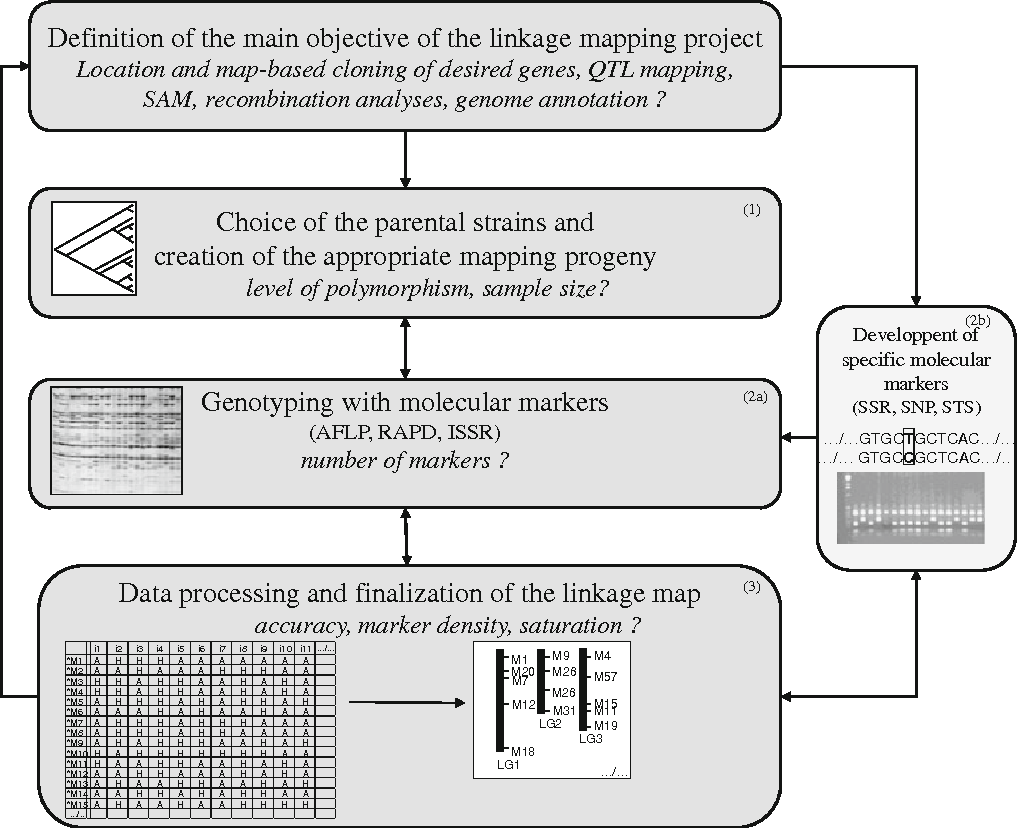 Genetic linkage mapping in fungi: current state ... on thomas morgan's linkage mapping, cognitive mapping, dna mapping, community mapping, mental mapping,