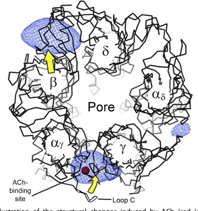 Figure 3 From Neuronal Nicotinic Acetylcholine Receptor