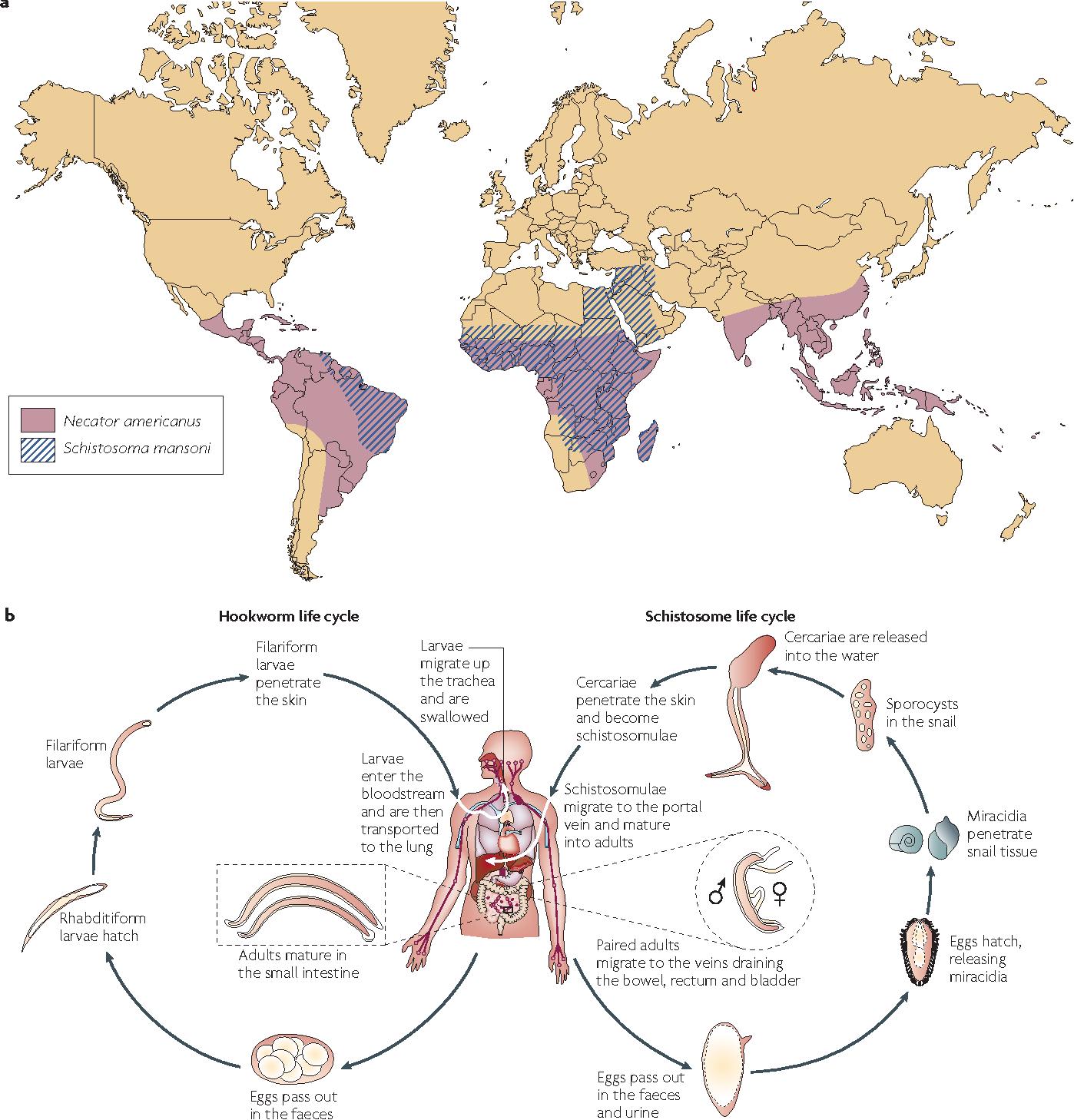 Figure 1 from Developing vaccines to combat hookworm