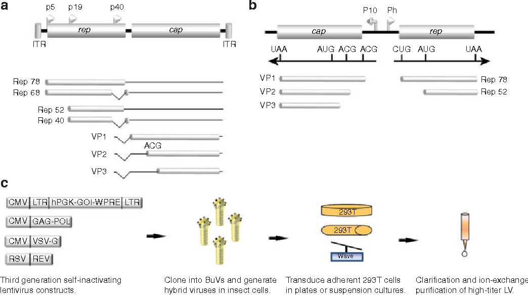 Figure 5 from Baculovirus: an insect-derived vector for ... on
