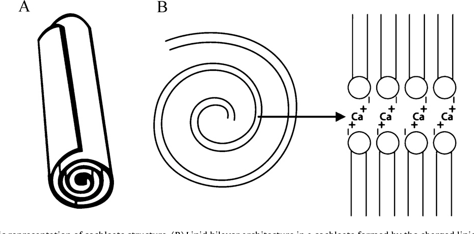 Fig. 2. (A) Schematic representation of cochleate structure. (B) Lipid bilayer ar
