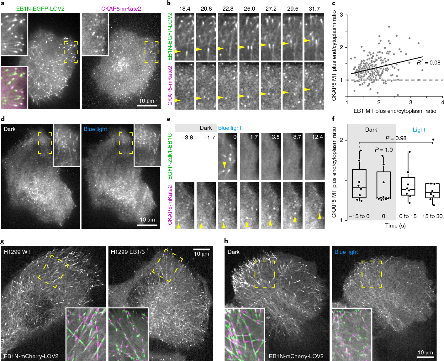 Local Control of Intracellular Microtubule Dynamics by EB1