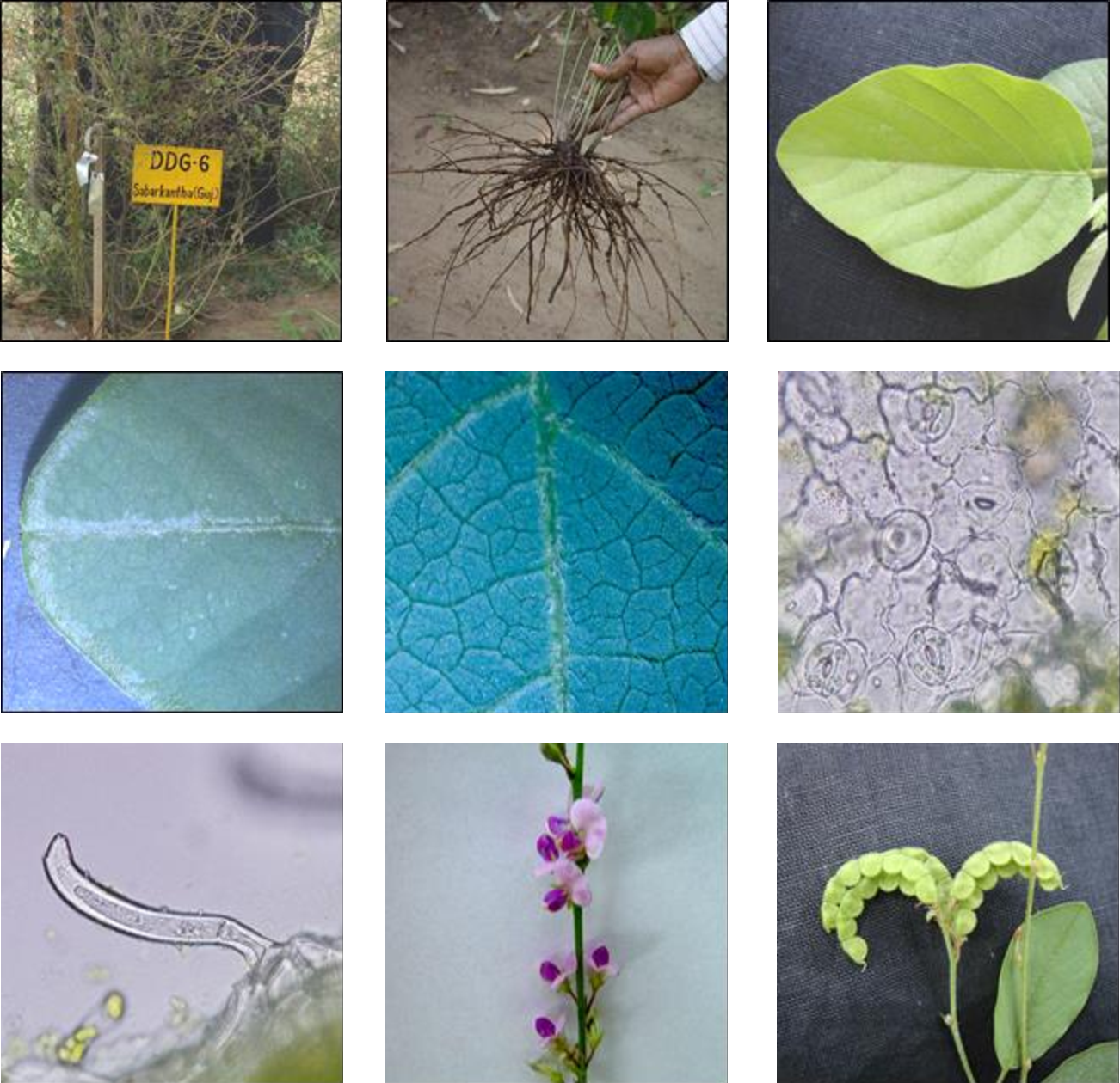 Figure 1 from Pharmacognostic Characterization of Desmodium