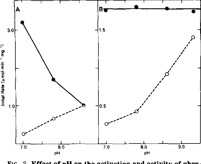 "FIG. 2. Effect of pH on the activation and activity of phenylalanine hydroxylase. A, effect of pH on the BH,-dependent activity of phenylalanine hydroxylase. Samples were preincubated for 10 min at 25°C at the specified pH in the absence (0) or presence (e) of 1 mM phenylalanine and then assayed at the same pH in reaction mixtures that contained 1 mM phenylalanine, 41 p~ (6R)BH, and other components as described under ""Materials and Methods."" B, effect of the pH of the preincubation mixture for phenylalanine hydroxylase at various pH values in the presence (e) or absence (0) of 1 mM phenylalanine. The hydroxylase was preincubated for 10 min at 25 'C at the pH values indicated and then subsequently assayed at pH 7.0 in reaction mixtures containing 1 mM phenylalanine, 30 @M (6R)-BH4, and other components as described under ""Materials and Methods."" The actual pH of the complete reaction mixture was determined by direct measurement for each pH value studied."