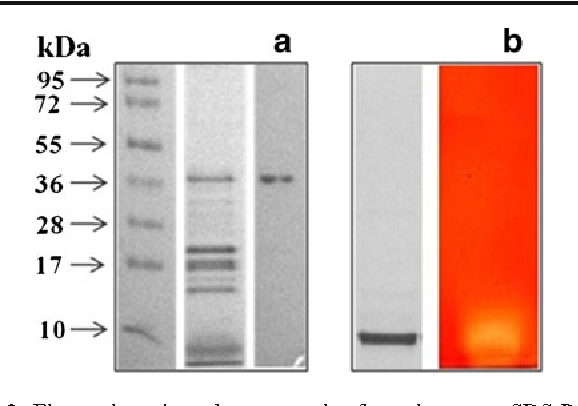 Fig. 2 Electrophoresis and zymography for xylanase. a SDS-PAGE (12.5 %) shows marker, culture filtrate (5×), and purified xylanase (from left to right). b Native PAGE (10 %) exhibits a clear zone, showing that the purified xylanase is active