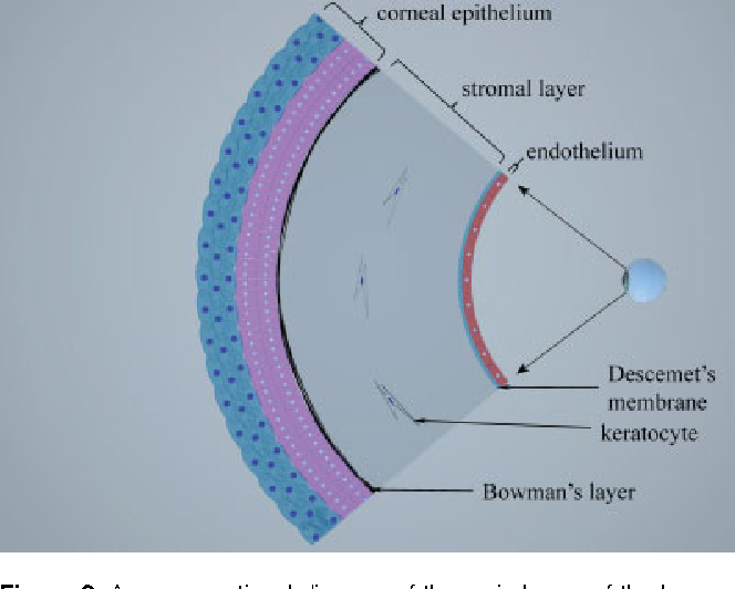 Figure 2 from The limbal epithelium of the eye--a review of
