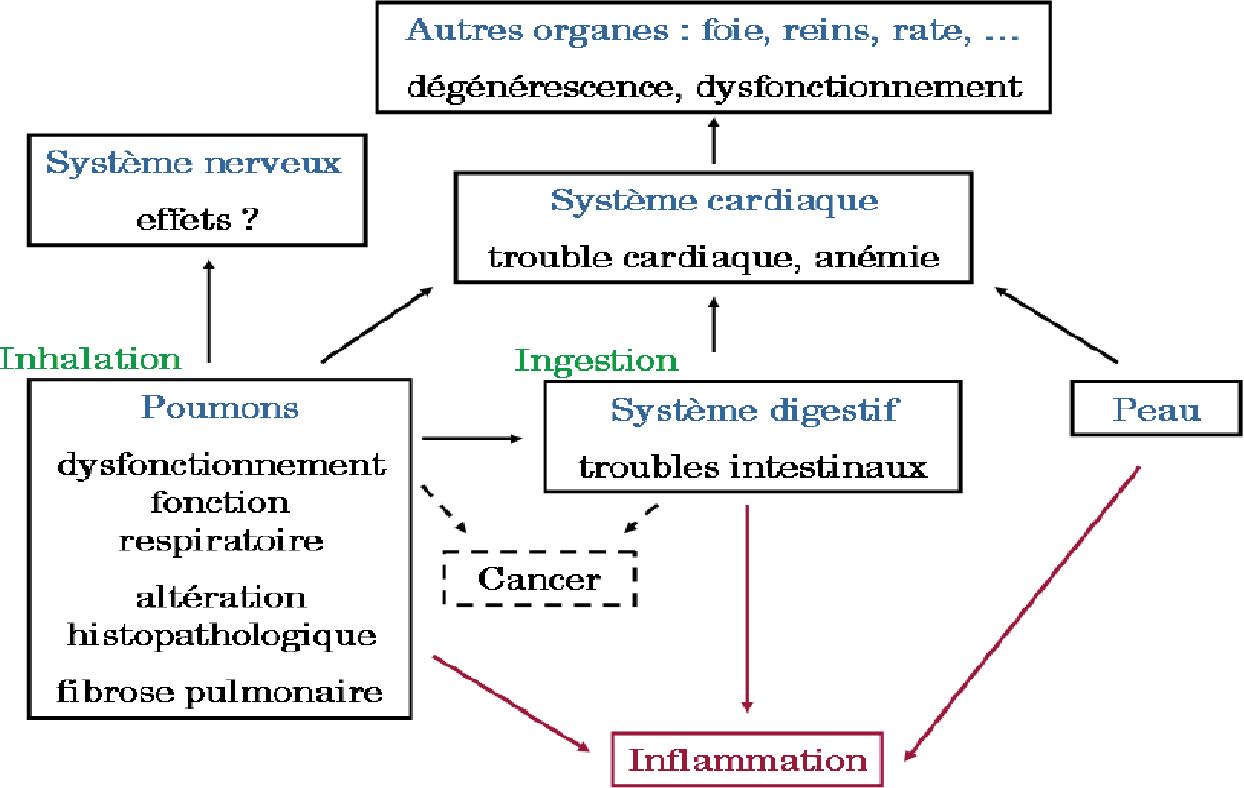 Figure 21 From Etude De La Toxicite Des Nanoparticules D Oxyde De Fer Fe3o4 Chez Le Rat Analyses Mitochondriales Et Du Stress Oxydant Semantic Scholar