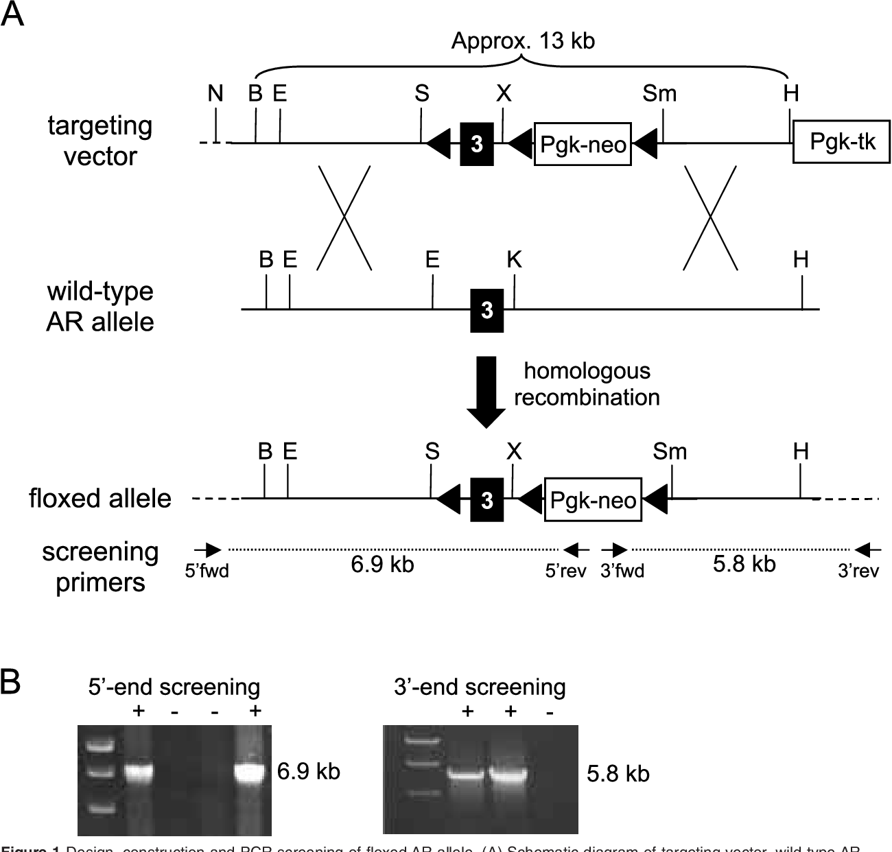 Figure 1 Design, construction and PCR screening of floxed AR allele. (A) Schematic diagram of targeting vector, wild-type AR and floxed AR alleles, showing primer pairs used to detect homologous recombination events. Each primer is represented as an arrow. LoxP sites and their orientation are indicated by black triangles. N, NotI; B, BamHI; E, EcoRI; S, SalI; X, XhoI; Sm, SmaI; H, HindIII; K, KpnI. (B) Agarose gel electrophoresis of PCR products using 58- and 38-end homologous recombination screening primers. +, exon 3 targeted embryonic stem (ES) cell clone; –, wild-type ES cell clone.