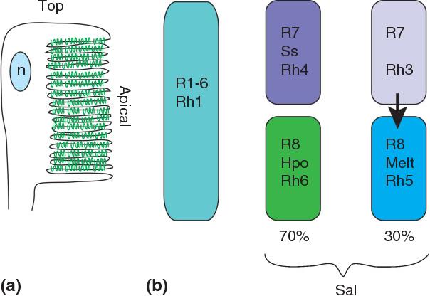 Figure 6 from Retinal differentiation in Drosophila