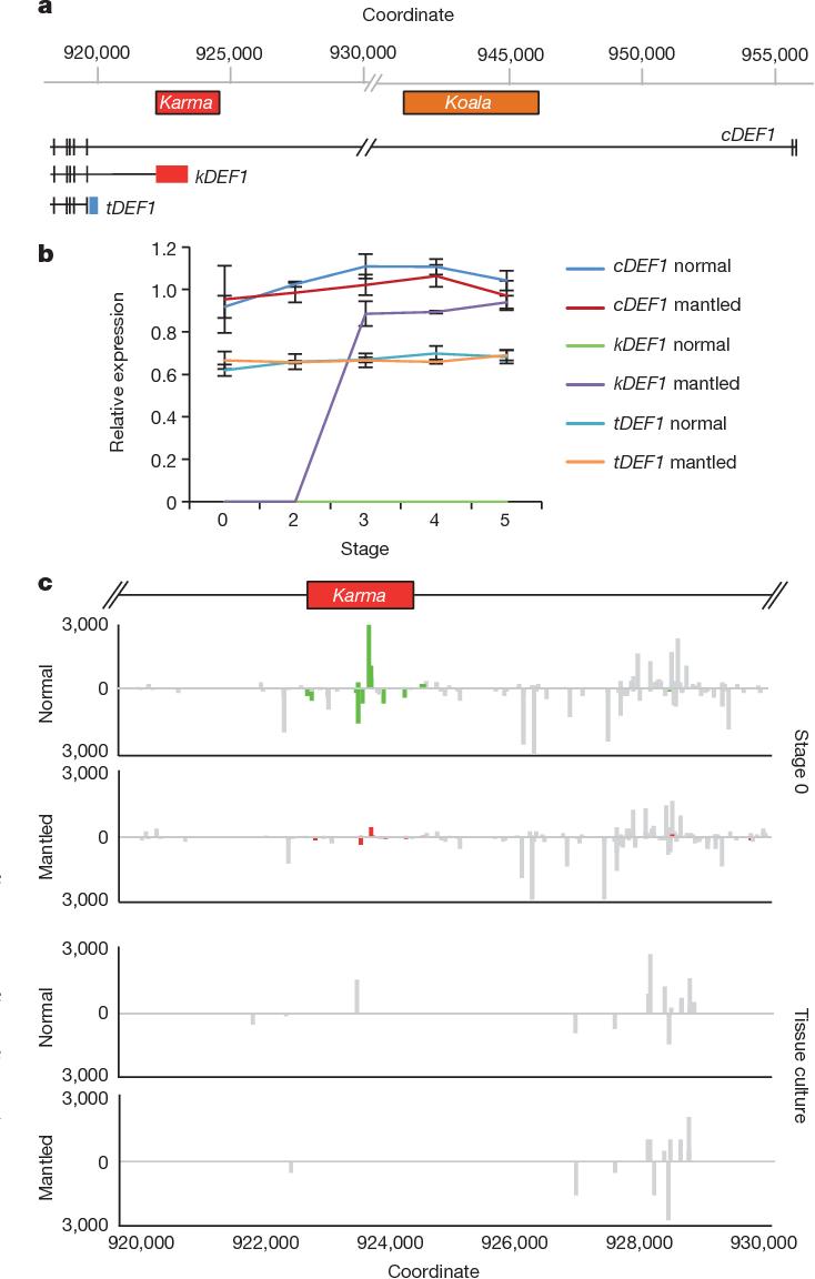 Loss of Karma transposon methylation underlies the mantled