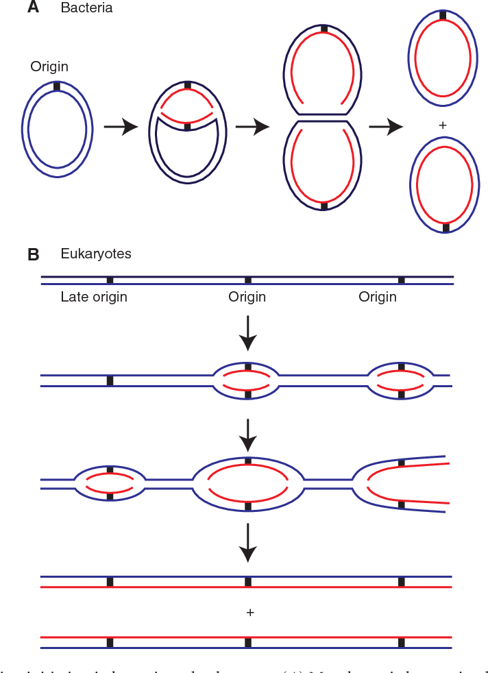 Figure 1 From Principles And Concepts Of Dna Replication In Bacteria Archaea And Eukarya Semantic Scholar