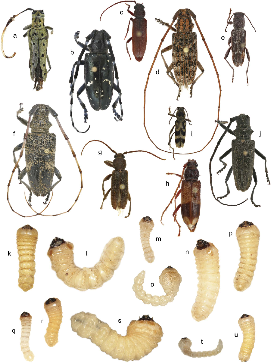 Identification of woodboring beetles Cerambycidae and