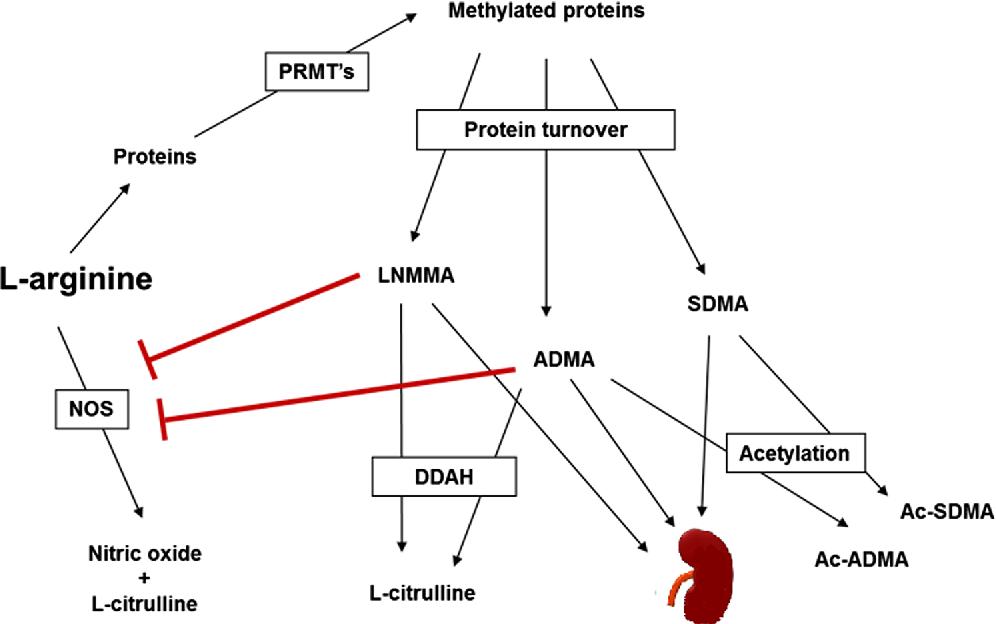 Figure 1 from Symmetric dimethylarginine (SDMA) outperforms