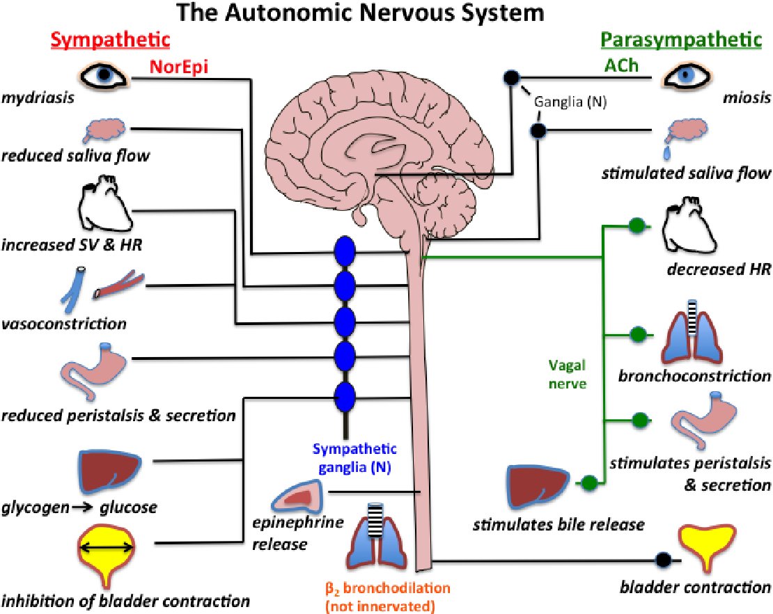 PDF] Autonoumous Nervous System biosignal processing via EDA and HRV from a wearable device | Semantic Scholar