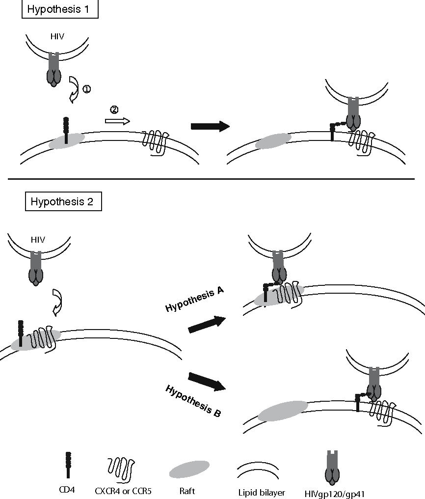 Fig. 3 Hypotheses for the involvement of lipid rafts in HIV entry into its target cells. See text for details