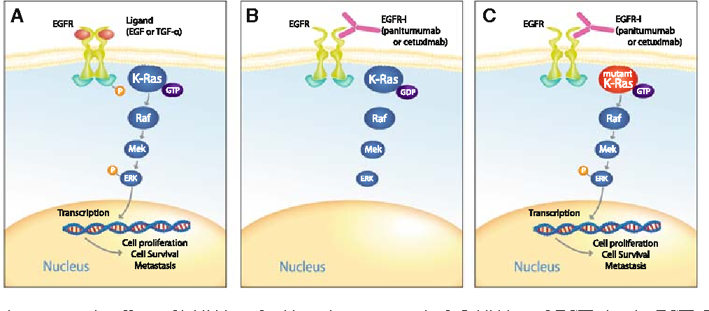 Figure 1 From Kras Mutation In Colon Cancer A Marker Of Resistance To Egfr I Therapy Semantic Scholar