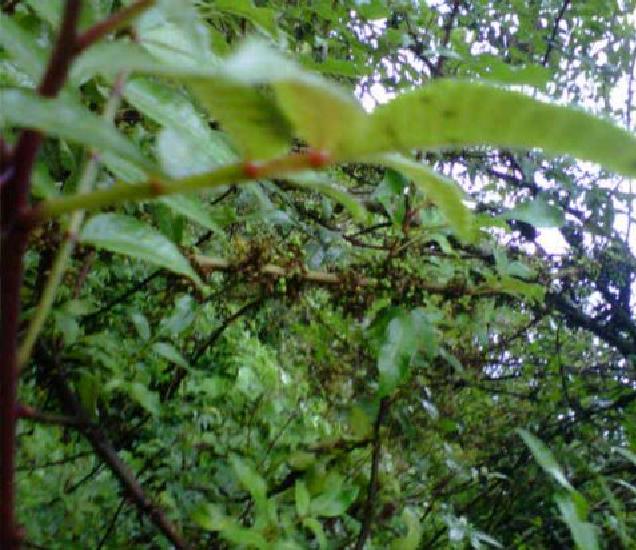 Figure 3 from The Indonesian Zanthoxylum acanthopodium DC ...