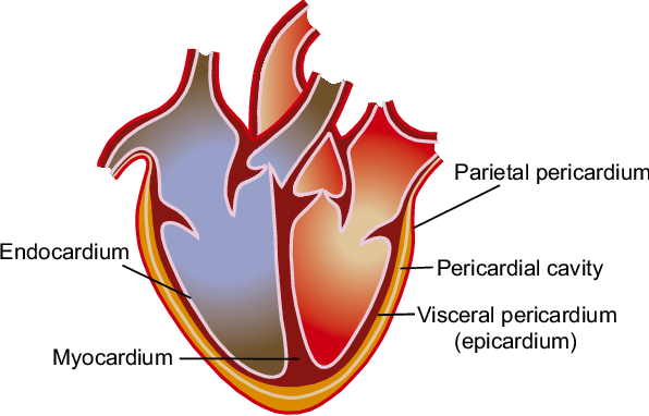 Figure 1 1 from Chapter The Heart : Anatomy , Physiology and
