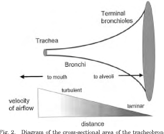 Figure 2 From Structure And Function Of The Tracheobronchial