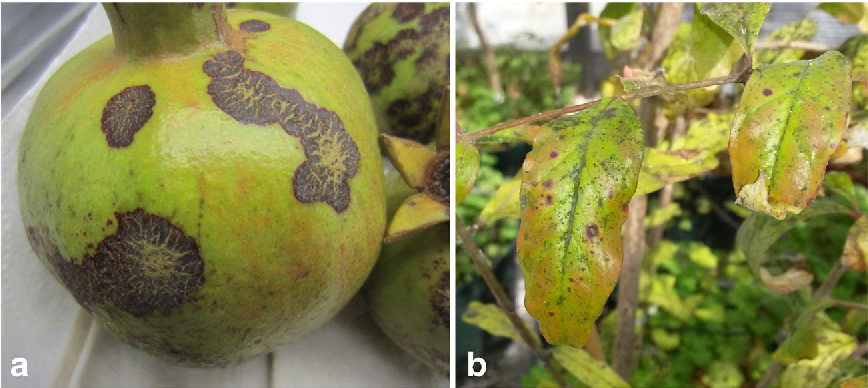 Figure 1 from Elsinoë punicae causing scab of pomegranates