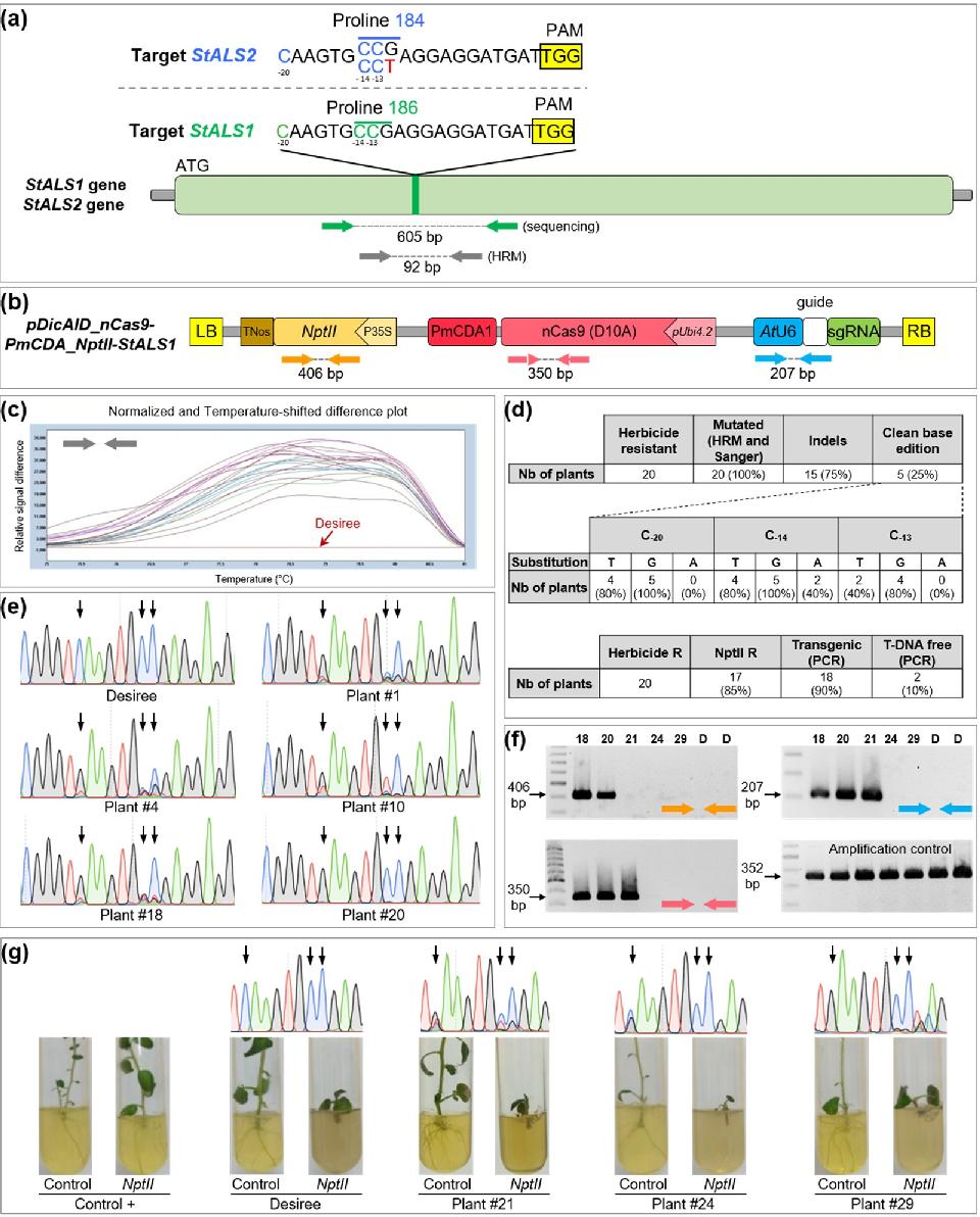 PDF] Transgene-Free Genome Editing in Tomato and Potato
