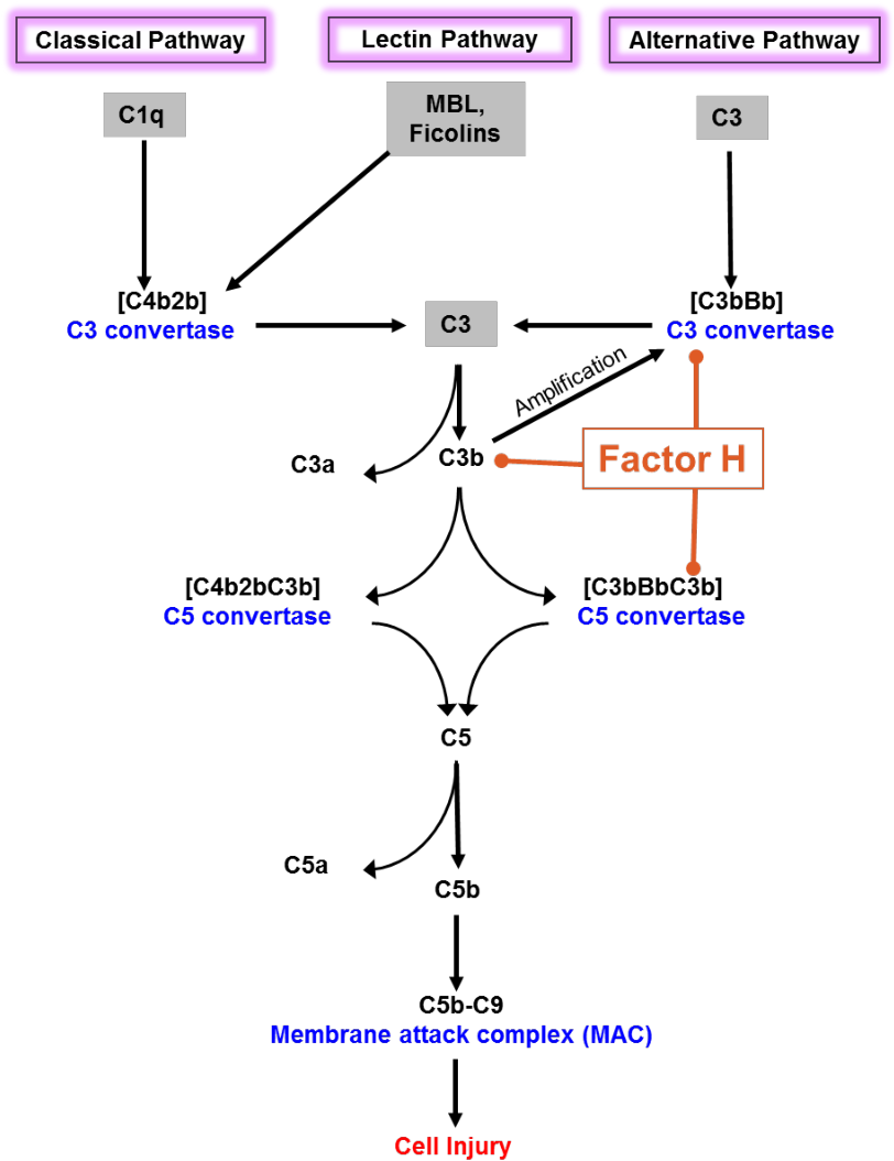 PDF] Complement Factor H C-terminus and its significance : A