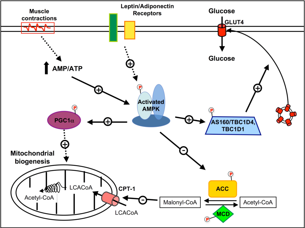 PDF] Targeting the AMPK pathway for the treatment of Type 2 ...