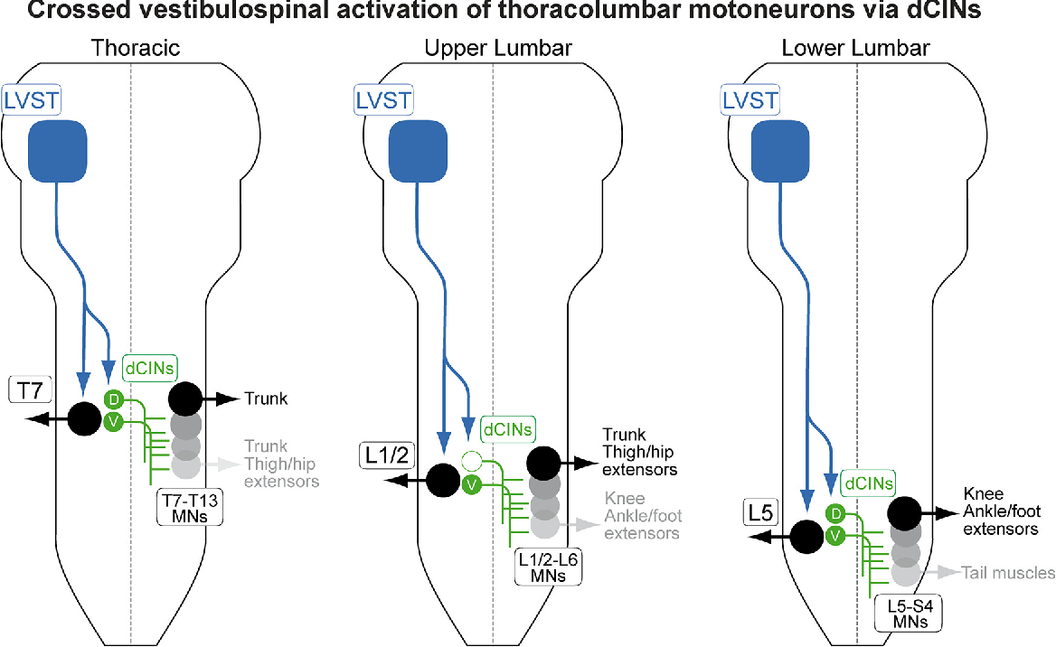 Figure 8. Schematic diagram summarizing the principal synaptic connection pattern from LVST to spinal neurons demonstrated in this study. LVST axons project to ipsilateral MNs (except for MMC MNs in lumbar segments; Kasumacic et al., 2010) and to ipsilateral dCINs but in a segment-specific pattern in which the more ventral dCIN subpopulation (V) but not the dorsal (D) is LVST responsive (filled vs open green dCINs, respectively) in the upper lumbar segments (L1/2). LVST-responsive dCINs in turn project to more caudal segments, which are shown with their contingent MN populations that innervate the indicated trunk, limb, and tail muscles.