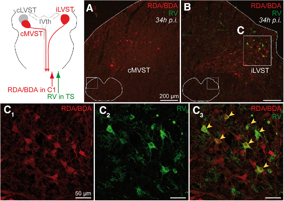 Figure 3. LVST neurons presynaptic to hindlimb extensor MNs identified by transsynaptic retrograde tracing with RV. The top left shows a schematic overview of the location of the two main vestibulospinal groups, the ipsilateral LVST (iLVST) and contralateral MVST (cMVST) groups (both red), which were retrogradely labeled by RDA/BDA application at C1 on the right side (red arrow). Also shown is the unlabeled LVST group on the opposite side (cLVST, gray domain) and the side (right) on which RV was injected into the TS muscle group of the hindlimb (green arrow). IVth V, Fourth ventricle. A, Fluorescence micrograph of a transverse section through the brainstem 34 h after RV injection, showing cMVST neurons in the left vestibular region labeled with RDA/BDA (red). No RV-labeled neurons were detected in the left vestibular region at 34 h. The inset shows the location of image within the section. B, Fluorescence micrograph of a transverse section showing RDA/BDA-labeled (red) and RV-labeled (green) iLVST neurons in the right vestibular region. The inset shows the location of image within the section. C, Higher-magnification image of the boxed area in B, showing RDA/BDA-labeled LVST neurons (C1, red), RV-labeled LVST neurons (C2, green), and RDA/BDA/RV-double-labeled LVST neurons (C3, yellow arrowheads). p.i., Postinjection. Scale bars: 200 m (A, B), 50 m (C1, C2, C3).