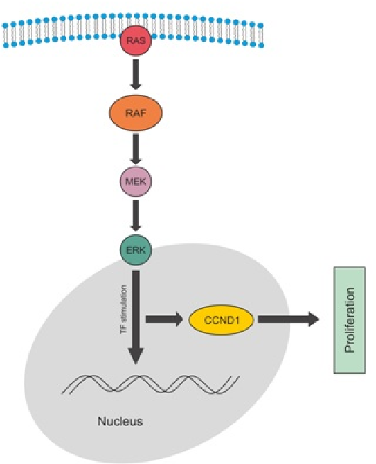 Map2k1 Pathway.Figure 1 From Gene Expression Of Map2k1 And Cyclin D1 In Bdii Rat