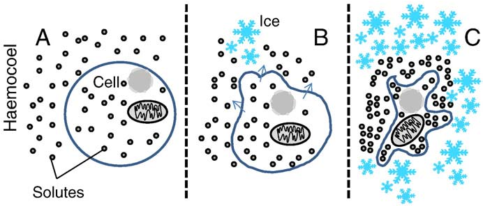 Fig. 1. The extracellular ice formation model for freeze tolerance in insects, as described by Asahina (1969). Under normal conditions, the cell is isosmotic with the surrounding haemolymph (A). When ice begins to form, exclusion of solutes from the crystals results in an increase in solute concentration in the haemolymph, and water is lost from the cell via osmosis (indicated with arrows). Once ice formation is complete, the cell is in osmotic equilibrium with the unfrozen portion of the haemolymph, and should therefore have an internal melting point at or below the current temperature. Additional cooling will cause the extracellular ice to grow, resulting in additional dehydration of the cell to maintain osmotic equilibrium.
