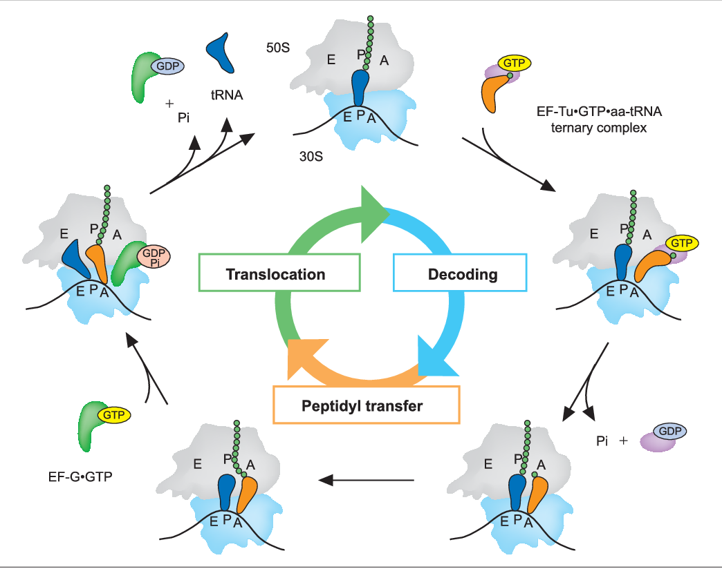Figure 1 from Ribosomal translocation: one step closer to