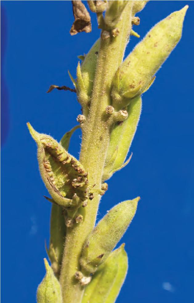 Figure 4 from Sesame phyllody disease: its symptomatology